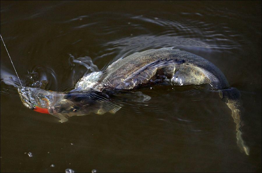 калининград рыбалка сом