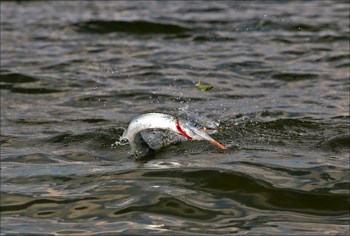 на что ловить саргана в балтийском море